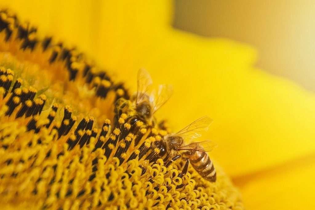 Girasole e api